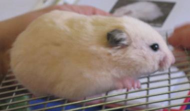 Long Haired Hamster Colors 67