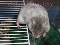 Syrian Hamster Colors and Coats - Phoenix Ashes Hamstery
